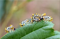Birch sawfly larva Bugs And Insects, Grubs, Birch