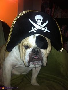 Pirate British Bulldog - 2012 Halloween Costume Contest
