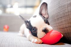 Discover how to teach your French bulldog to chew on dog toys? Why are they prone to chewing and how to deal with this issue? Bulldog Puppies, Cute Puppies, Corgi, Puppies Puppies, Beagle, Best Dog Breeds, Best Dogs, Pugs, Sleepy Animals