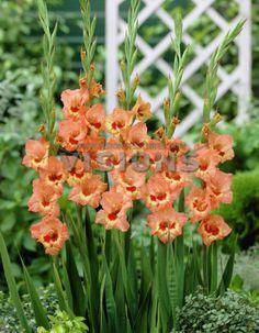 Gladiolus 'Alice'