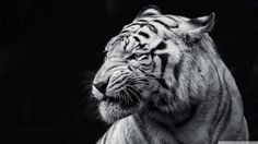 Tiger Black and White HD desktop wallpaper : High Definition ...