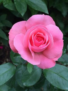 Sexy Rexy rose-no, I'm not making up the name! Beautiful Flowers Photos, Beautiful Red Roses, Pretty Roses, Amazing Flowers, Tea Roses, Pink Roses, Pink Flowers, Flower Images, Flower Photos