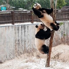Two pandas climb a tree while playing in snow at Changsha Ecological Zoo  Yes, I win again!