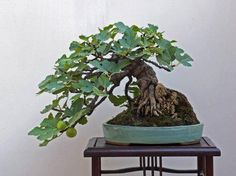 Fig; semi-cascade. I think a coral tree would look good in this shape too