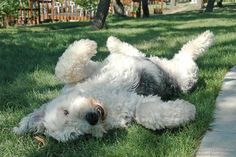 Old English Sheepdog playing around.