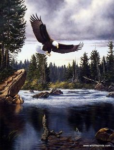Bald Eagles typically nest in forested areas adjacent to large bodies of water as seen in the Derk Hansen print NATURE'S MEDLEY-EAGLE. Fish is their preferred food source, but not necessarily fish the Mais Beautiful Birds, Animals Beautiful, Eagle Pictures, Eagle Images, Eagle Print, Birds Of Prey, Colorful Birds, Wildlife Art, Pet Birds