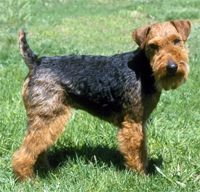 The Welsh Terrier Dog Breed: The Welsh, although more mild-mannered than many terriers, is still playful and mischievous enough to provide plenty of entertainment and . Dog Breeds By Size, Unique Dog Breeds, Rare Dog Breeds, Small Dog Breeds, Pet Breeds, Small Breed, Welsh Terrier, Airedale Terrier, Fox Terriers