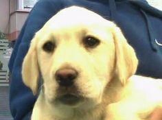 Nela Vicente #LabradorRetriever #veterinario www.veterinario.es