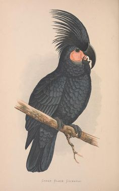 Great Black Cockatoo. Parrots in captivity v.3 London :George Bell and Sons,1884-1887 [i.e. 1883-1888] Biodiversitylibrary. Biodivlibrary. BHL. Biodiversity Heritage Library