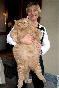 fat cat.  ねこ様の前に、まずは飼い主様が痩せて、健康をコントロールすべきでしょうね。 キレイに痩せる3つの習慣→http://www.infotop.jp/click.php?aid=312294&iid=65009