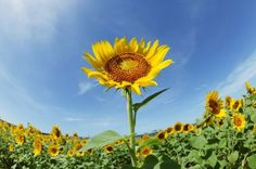 Sunflowers should be planted in April and September when the temperature doesn't drop to freezing at night. Plant sunflowers with tips from a sustainable gardener in this free video on gardening. When To Plant Sunflowers, My Secret Garden, Planting Flowers, Plants, Sunflower Garden, Outdoor Gardens, Planting Sunflowers, Growing Sunflowers, Growing Sunflowers From Seed
