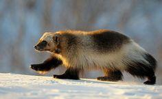 El auténtico wolverine en la Reserva Natural de Kronotsky, Kamchatka, Rusia - Pixdaus