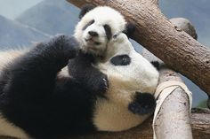 Lun Lun playing with her momma, Mei Lun. Baby Panda Bears, Polar Bear, Panda Babies, Baby Pandas, Panda Love, Cute Panda, Panda Panda, Animals And Pets, Baby Animals