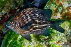 Endemic Hawaiian Fishes, Page 2