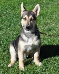 Zia is an adoptable German Shepherd Dog Dog in Charlotte, NC. Meet Zia who is a 4ish months old (1-30-12) and is a big love bug! He was rescued from a tiny filthy pen where he was living with his mom,...