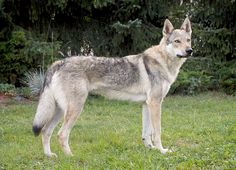 Czechoslovakian Vlcak. I want one of these in my life!
