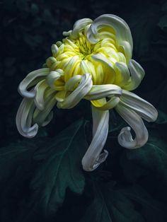 Rare Flowers, Flowers Nature, Exotic Flowers, Amazing Flowers, Flowers In Hair, Beautiful Flowers, Flowers Garden, Purple Flowers, Flower Images