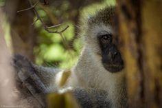 Monkey kenya africa | The Planet D