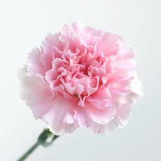 Good morning 。 おはようございます。今朝はカーネーションとともに・・・。みなさん、きょうも素敵な一日を!