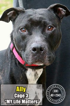 ***URGENT! 12/22/16 - 03 Ally is an adoptable Pit Bull Terrier searching for a forever family near Canton, OH. Ally is a black beauty, a strong girl, but friendly, and listens pretty well. She loves to spend time in the volunteer room w/a toy & a soft bed. Ally longs for people to stop to visit, & gets so excited when they go by, she hits her muzzle against her cage, scraping her nose. She looks lost, abandoned, and worried. How big is your heart?