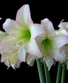 Amaryllis Trentino - Christmas Flowering Miniature Amaryllis - Amaryllis - Flower Bulb Index