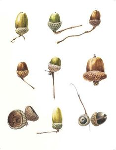 No Really, That's How I Do It - Geometric Composition and Painting Acorns | American Society of Botanical Artists