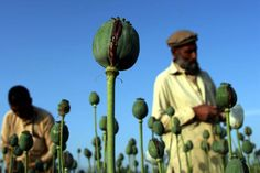 As officials sound the alarm about a heroin epidemic here in the U.S., the cultivation of opium poppy in Afghanistan is at an all-time high.