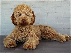 I've always wanted either a labradoodle or a goldendoodle :)
