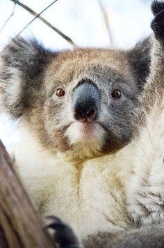 ♥ Koala Marsupial, Animals Beautiful, Cute Animals, Australian Animals, Pet Birds, Koala Bears, Kangaroos, Board, Koalas