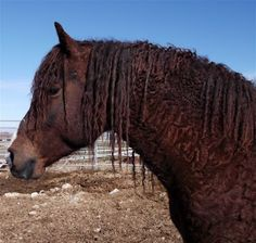 MO Foxtrotters, home to Dallas, a fabulous chestnut Curly stallion