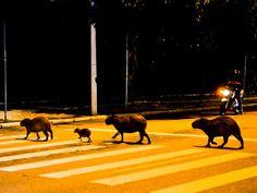 Capivaras pararam o trânsito para atravessar a rua no estilo 'Beatles' (Foto: Studio Victor Hugo/Divulgação) #TheBeatles