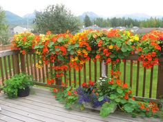 I love nasturtiums and especially how they look in planting boxes on this deck  They are also edible!