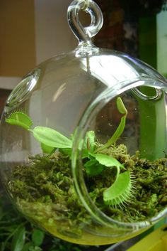 Venus Fly Trap Terrarium: Be different and choose an unlikely office plant, like the Venus fly trap ($18). Not only is it a great conversation starter, but it also has its practical uses — there will be fewer bugs in the office. This Venus fly trap terrarium requires moistness, bright light, and a bug or two a month.