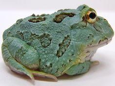 Blue Samurai Pacman Frog
