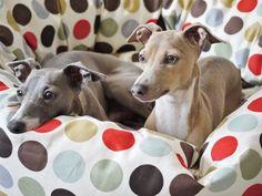 ~ Tino and Theo the Italian Greyhounds~