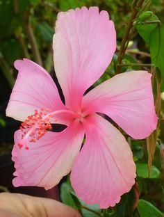 Dainty Pink Hibiscus,Hibiscus rosa-sinensis 'Dainty Pink' - Almost Eden