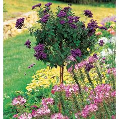 Why stoop to enjoy the vanilla scent of Heliotrope when you can have it elevated to within easy reach of your nose? The deep purple flowers keep. Water Plants, Water Garden, Mixed Border, Tropical Patio, Small Japanese Garden, Famous Fairies, Topiary Trees, Topiaries, White Flower Farm