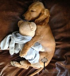 English Cocker Spaniel Puppy Love