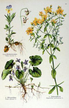Vintage Botanical Prints, Botanical Drawings, Botanical Art, Illustration Botanique, Plant Illustration, Impressions Botaniques, Nature Artists, Nature Plants, Photo Wall Collage