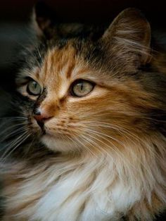 If you're looking for Free Maine Coon Kittens for adoption we've written some tips on how to find Free Maine Coon Cats and where to look for them. Pretty Cats, Beautiful Cats, Animals Beautiful, Cute Kittens, Cats And Kittens, Kittens Meowing, Ragdoll Kittens, Tabby Cats, Bengal Cats