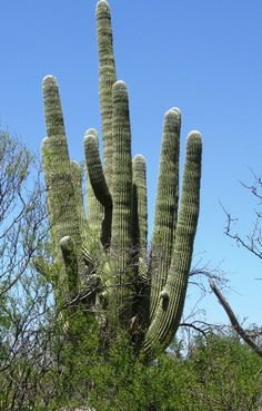 The giant saguaro is the home to many birds and provides good and shelter for even more.