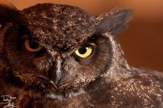 Julio the Great Horned Owl is one of the education birds at the Audubon Society of Portland. Julio was brought to the center after being raised by human. Julio the Great Horned Owl Great Horned Owl, Birds, Deviantart, Bird