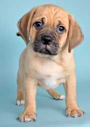 instead of a bull mastiff, how about a puggle?They look like the puppy mastiffs