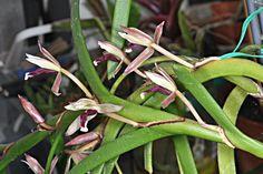 Maxillaria equitans