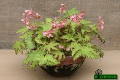 Begonia 'Phoe's Cleo' - Bio Brave