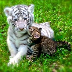 Tiger cub with Geoffrey kitten Picture of the two cats we had privates with at dade city wild things