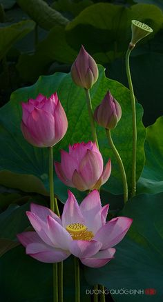 coffeenuts:  S15 by ~duongquocdinh  Pink Lotus