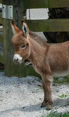 Gracie our little miracle baby. Courtesy: Clovercrest Miniature Donkey Stud, Pukekohe (New Zealand).