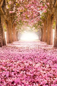 Brides don't need flower girl, with bright pink cherry blossoms covering path under trees. RESEARCH by DdO:) - http://www.pinterest.com/DianaDeeOsborne/flowers-beyond-expected/ - A few Ornamental Cherry seeds reached the US before Japan sent 1000s of trees in the 1900s. Botanist Charles S. Sargent sent cherry trees to the Morris Arboretum in Philadelphia in the 1890s. Agriculture department official David Fairchild imported 100 Japanese cherry trees in 1906 for his own Maryland land.