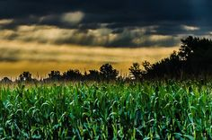 Photo of the Week - Cornfield in Central Iowa